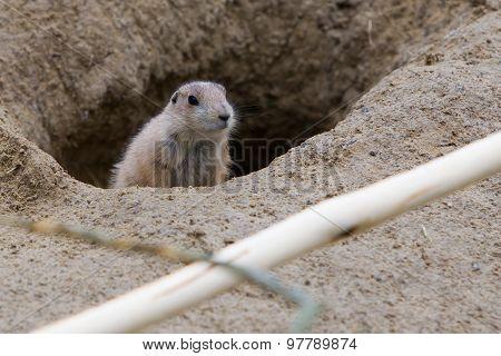 Prairie Dog Checking Out