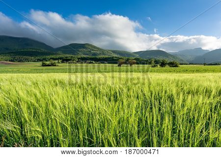French countryside. Cornfield on a windy day in the French Department of Drome with the mountains of Vercors in the background.