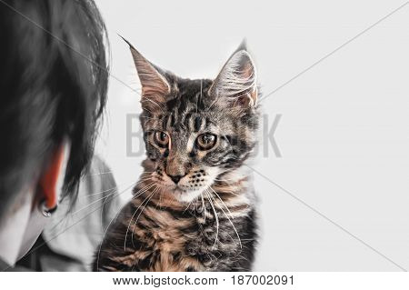 Beautiful kitten of breed Maine Coon looks up at the man intelligent eyes.