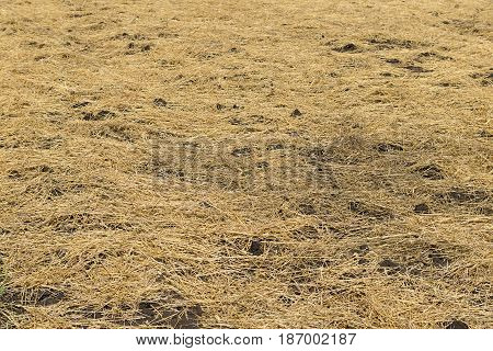 Plowed spring field covered with straw golden color