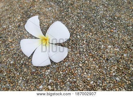 A fallen plumeria flower. White and yellow plumeria fallen on the cement mixed small gravel stone floor. Plumeria flower spa concept.
