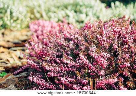 Pink Flower Of Heather Or Calluna Vulgaris