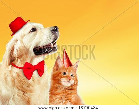 Cat and dog together, maine coon kitten, golden retriever looks at right. Yellow background.
