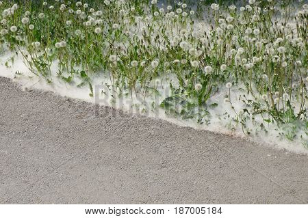 Lot of dandelions in poplar fluff near the road. Nature green background. Asphalt way in park or garden. Closeup view.