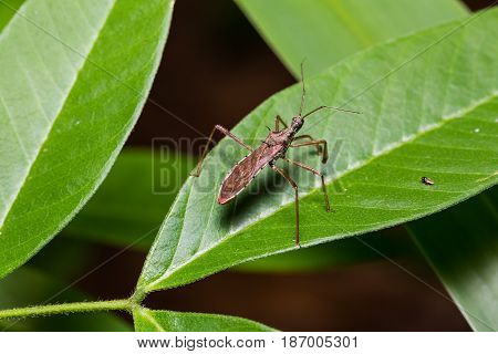 Termite Assassin Bug (valentia Compressipes)