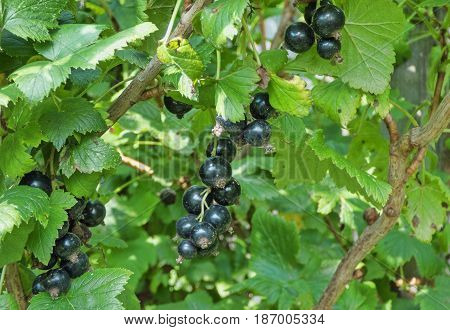 Black currant in blurred green leaves. Sunny summer day in garden. Selected focus.