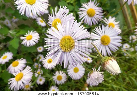 Chamomile with a bud against blurry background with over chamomiles. White flowers and green leaves. Sunny summer day. Selected focus.