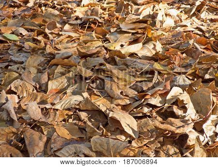 Autumn leaves background. Lot of dry fallen foliage. Brown poplar and birch leafage. Selected focus on central part of image.