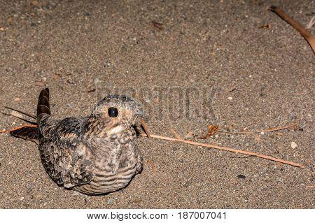 A close up of a Lesser Nighthawk resting in Volcanic beach sand in Costa Rica.