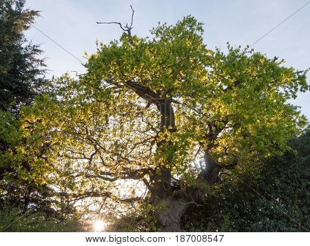 The Sun Poking Through An Oak Tree Outside On Edge Of Country With Plenty Of Serene Beauty