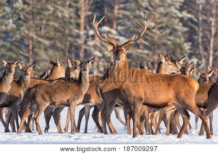 Great noble deer surrounded by herd.Portrait of a deer, while looking at you.Adult deer with big beautiful horns on snowy field on forest background. Desired trophy for hunters.Winter.Belarus, Europe  Deer on a background of a winter forest carefully look