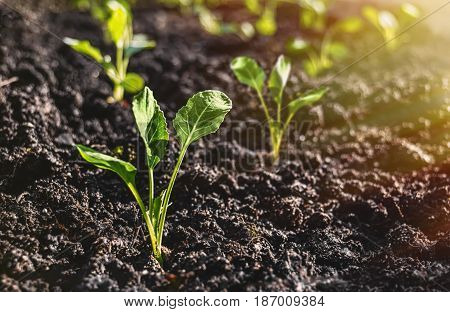 The cabbage seedlings prepared for planting in the ground, on closer inspection,
