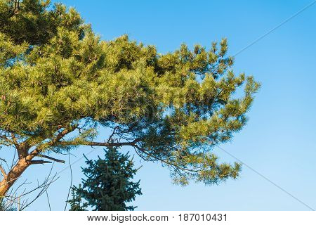 Conifer tree on clear blue sky background. Beauty of nature details concept.