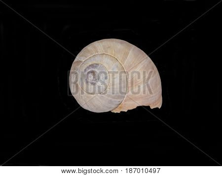 Close up of the shell of a Roman Snail (Helix pomatia) isolated on black background