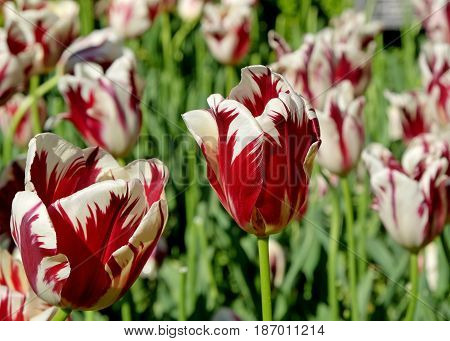 Striped Rembrandt tulips in the Royal Keukenhof Park Holland