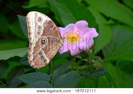 photography with scene of the butterfly sitting on wild rose