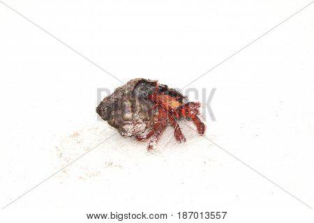 Hermit Crab crawling on white sand Tailand Similan island