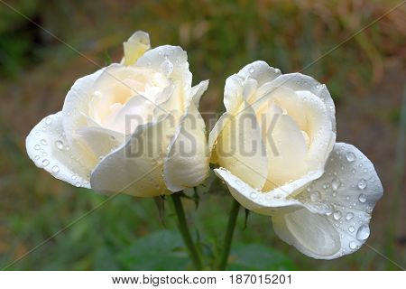 photography with scene two white roses after rain