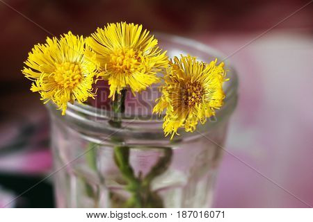 Flowers Of Coltsfoot Tussilago Farfara On White Background.