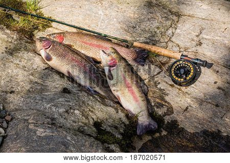 Three rainbow trout laying on stone. Trout fishing on the Otace River. Fly on Otava South Bohemia. Czech Republic