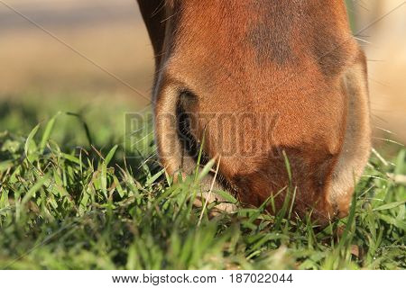brown horse nose eating lush green grass