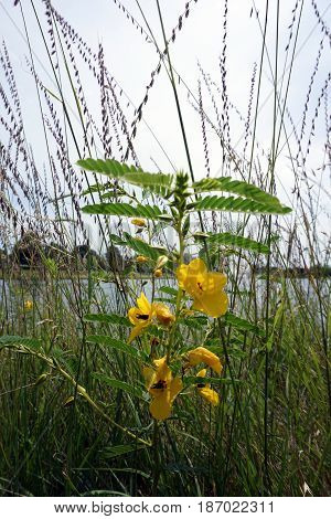 Partridge pea plants (Chamaecrista fasciculata) bloom among sideoats grama (Bouteloua curtipendula) next to a small lake in Joliet, Illinois during July.