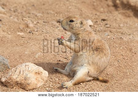 Prairie Dog sitting in dirt eating. Prairie dogs (genus Cynomys) are herbivorous burrowing rodents native to the grasslands of North America