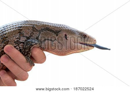 profile portrait of one Blue-tongued skink being held by a hand isolated on white. They are often bred in captivity and sold as house pets.