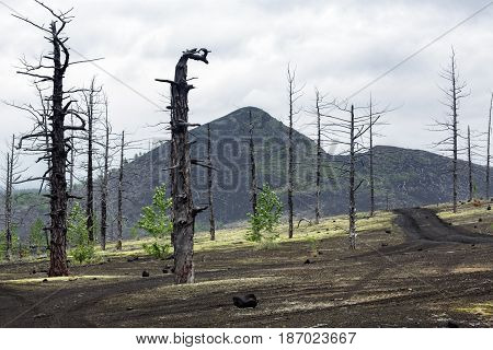 Kamchatka volcano landscape: burnt trees (larch) on volcanic slag and ash in Dead Wood (Dead Forest) - consequence of natural disaster - catastrophic eruptions Tolbachik Volcano during on 1975-1976.