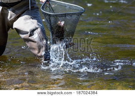 Fly fishing pull trout into the net on the river Otava Czech Republic