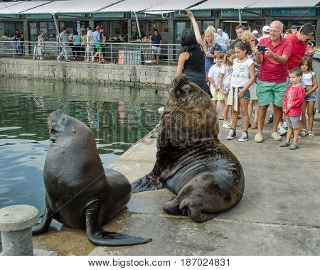 PUNTA DEL ESTE - URUGUAY, MARCH 3, 2017: Sea lions entertain tourists by posing for photos at the fishing dock of the popular resort city on the Atlantic coast.