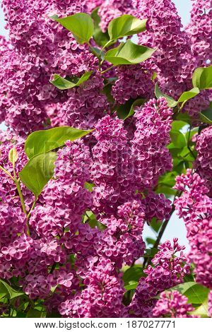 beautiful lilac branches swaying in the wind