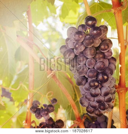 A vibrant square photo of wine grapes hanging from a vine in a vineyard, just before the autumn harvest, slightly toned
