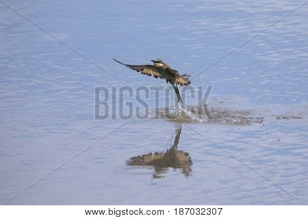 European Bee Eater catching insects on the surface of a water pond