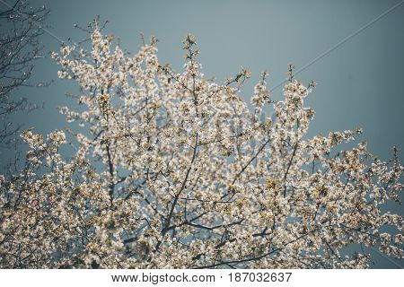 Almond trees blooming. Almond tree branches full of flowers. Flowers background in vintage style. Closeup of the branch of an almond tree in bloom. Almond tree background with white and pink flowers.