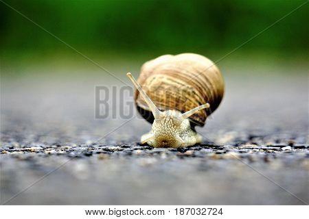 A front close up of an europaean vineyard snail