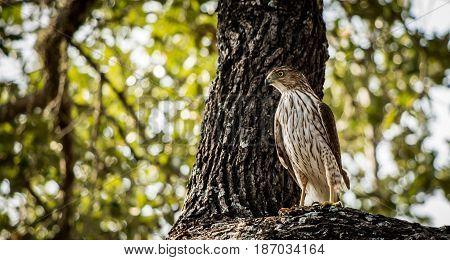 Menacing hawk waits for prey to arrive.