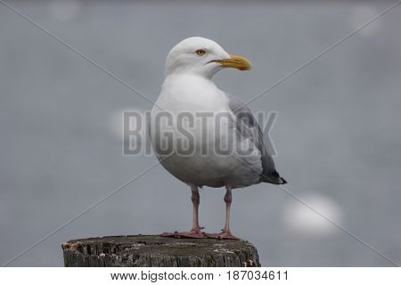 American herring gull standing on a spring day