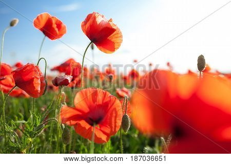 Nature, spring, summer, blooming flowers concept - close-up on flowering red poppies in the field, a sunny spring day with blue sky and clouds. Red and green mood.