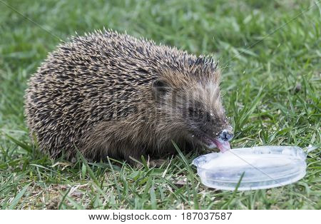 Wild hedgehog became to drink white milk on background of the green herb