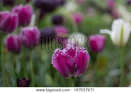 Beautiful purple tulip with ruffled petals blooming in flower garden