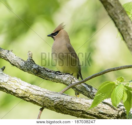 A Cedar Waxwing (Bombycilla cedrorum) a passerine bird, shown in left profile against a light green background in the Catoctin Mountains of Emmitsburg, Maryland USA.