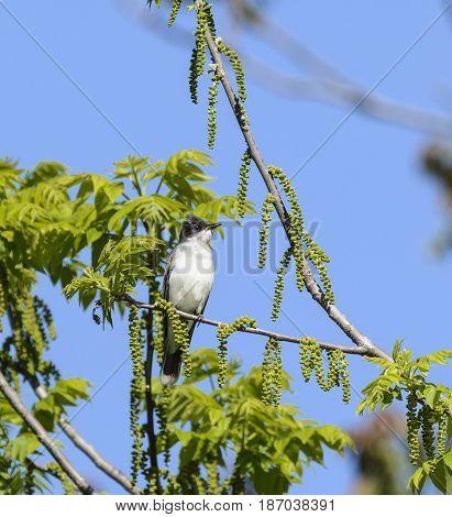An Eastern Kingbird (Tyrannus tyrannus), a flycatcher,  sitting on a vine, with a blue sky background in Emmitsburg Maryland, USA.