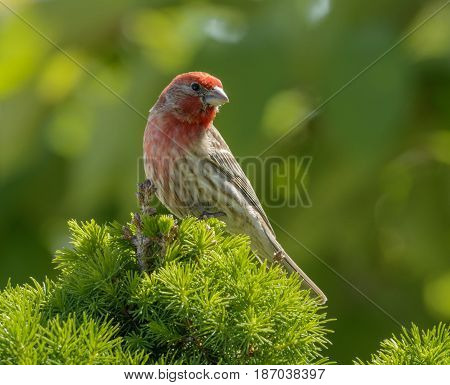 A male House Finch (Haemorhous mexicanus) in mating plumage, looking to its left while perched atop a spruce tree in Taneytown Maryland, USA.