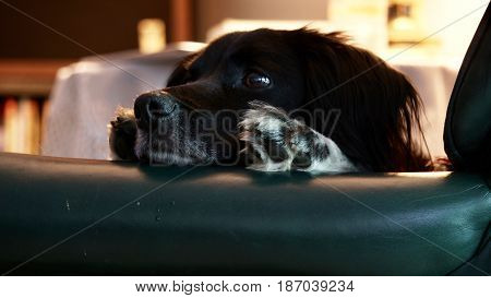trepeditious puppy that is concerned looking over arm of chair