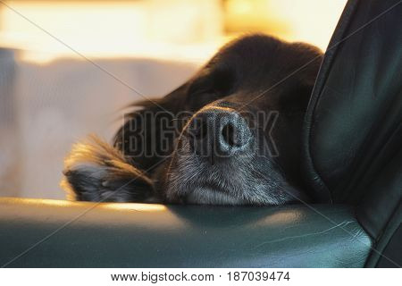 Brittney spaniel dog fast asleep sitting in chair