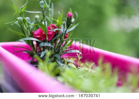 A beautiful spring day the flowers bloom pink flowers pink flower pots nice smell exudes beauty