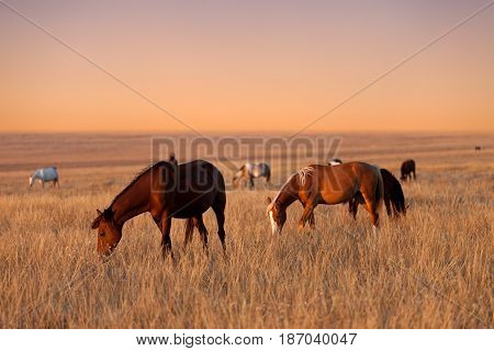 Herd Of Horses Grazing In Sunny Evening Pasture