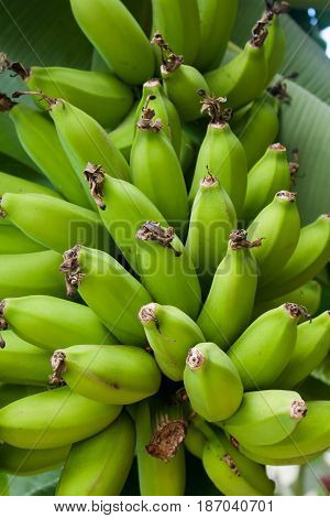 Bunches of bananas ripening on the tree