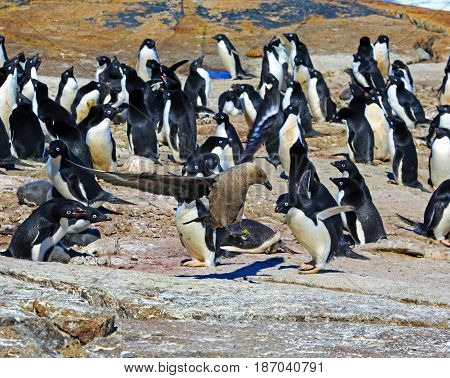 Young adelie penguins walking on stony ground and on rocks a sunny day. Overall plan.